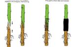 Копулировка плодовых деревьев: пошаговая инструкция для новичков