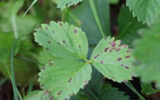 Как бороться с болезнями клубники и земляники
