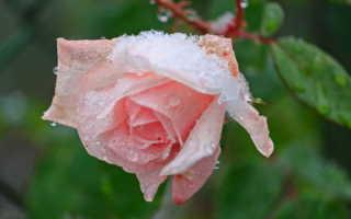 Поможем прекрасным розам «дожить» до весны