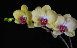 Все об уходе за орхидеей в домашних условиях
