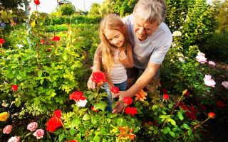 Самые красивые розы для оформления бордюров — 7 великолепных сортов