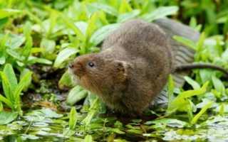 Как избавиться от земляной крысы на огороде: эффективные способы