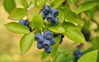 Как защитить садовую голубику от всех напастей, кроме двуногих любителей сочных ягод