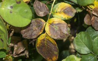 Почему у розы желтеет и опадает листва и что при этом делать