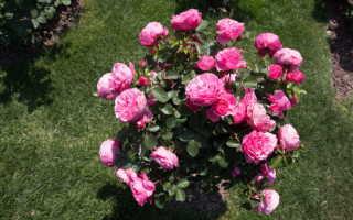 Какие органические удобрения использовать для роз после завершения цветения