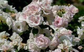 Удобрения для роскошного цветения роз