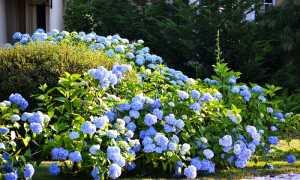 В гордом одиночестве. Растения, которые не следует высаживать вблизи садовых дорожек