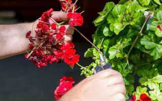 У герани желтеют листья: причины, степень опасности и методы устранения проблемы