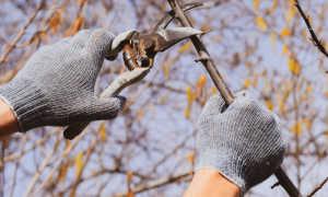 Зимняя обрезка груши