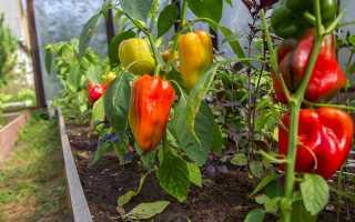 Большой урожай перца: агротехника выращивания