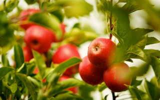 Сорт яблони Солнышко: все о посадке и уходе