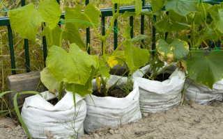Оригинальный способ выращивания огурцов