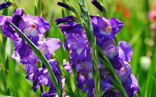 Подкормка гладиолусов в период вегетации