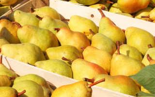 Зимние сорта груш: как правильно хранить