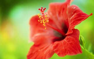 Гибискус — цветок смерти или роза жизни