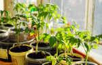 Самые частые ошибки при выращивании томатов