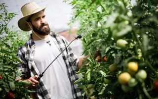 Чем подкормить томаты в теплице