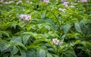 Преимущества и особенности посадки картофеля в июле