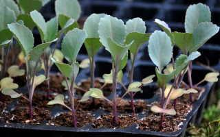 Как вырастить рассаду белокочанной капусты в домашних условиях