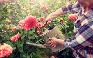 Топ-7 вероятных причин отсутствия цветения у георгинов