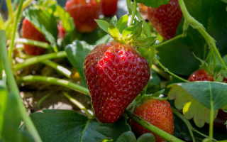 Сажаем клубнику осенью: преимущества, особенности