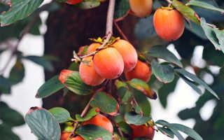 Хурма в средней полосе — зимний фрукт в вашем саду