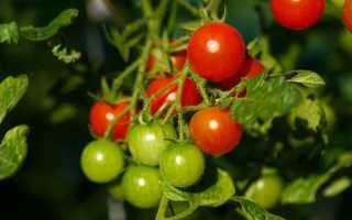 Как выращивать ампельные помидоры в горшках
