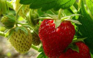 Подкормка клубники, закончившей плодоношение