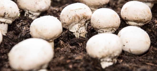 Шампиньоны: выращиваем дома