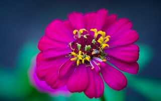 Когда сажать цинию при выращивании из семян