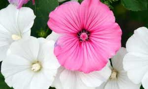 Лаватера: история цветка, виды, уход и выращивание