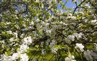 Виды плодовых деревьев, способных расти на Урале, в Сибири и прочих местах, где очень суровые зимы
