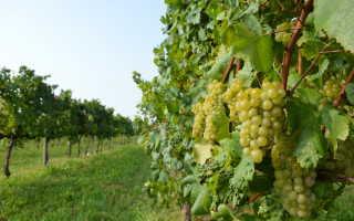 Советы по проращиванию черенков винограда в воде и кильчеванием