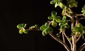 Правильный уход за денежным деревом, чтобы разбогатеть