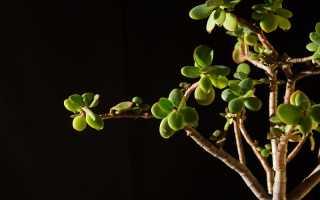 Когда начинает цвести Денежное дерево, и как ускорить процесс