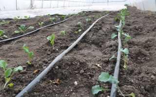 Теперь всегда высаживаю капусту в открытый грунт под зиму. Это гарантирует мне богатый урожай в следующем сезоне