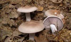 Как отличить съедобные рядовки от ядовитых. Описание грибов