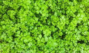 Увеличиваем урожай петрушки в несколько раз: секреты правильной подкормки