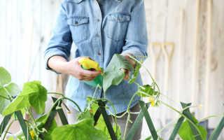 Йод и зеленка от болезней и для увеличения плодоношения огурцов