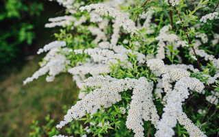 Как размножить спирею, чтобы получить пышно цветущие кусты