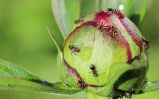 Самый эффективный способ борьбы с муравьями на участке
