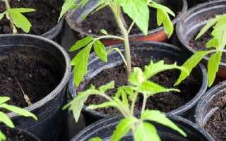 Способы подкормки томатной рассады, выращиваемой на подоконнике