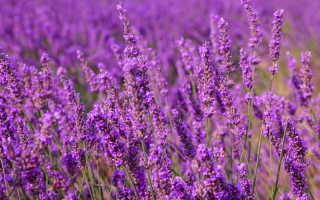Пряные травы для любителей фиолетовых цветов