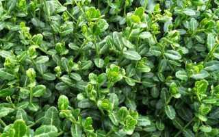 Бересклет Форчуна: особенности выращивания декоративного кустарника