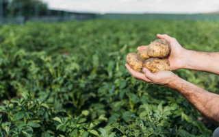 Диагноз по урожаю: определяем, чем болеет картофель