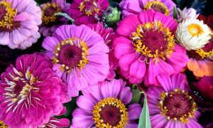 Выращивание цинии на открытом грунте:советы по уходу и посадке