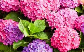 Размножаем гортензию: 7 секретов успеха