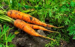 Правила севооборота при выращивании моркови