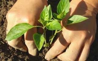 Сладкий перец Купец: описание и особенности выращивания