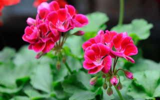 Как помочь герани цвести дольше